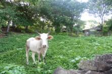Vaca!