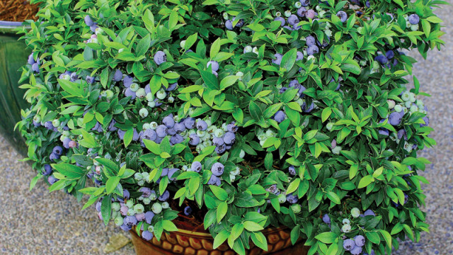 Indoor Trees Blueberry Bush with Ripe Berries Growing Blueberries in Containers or Pots