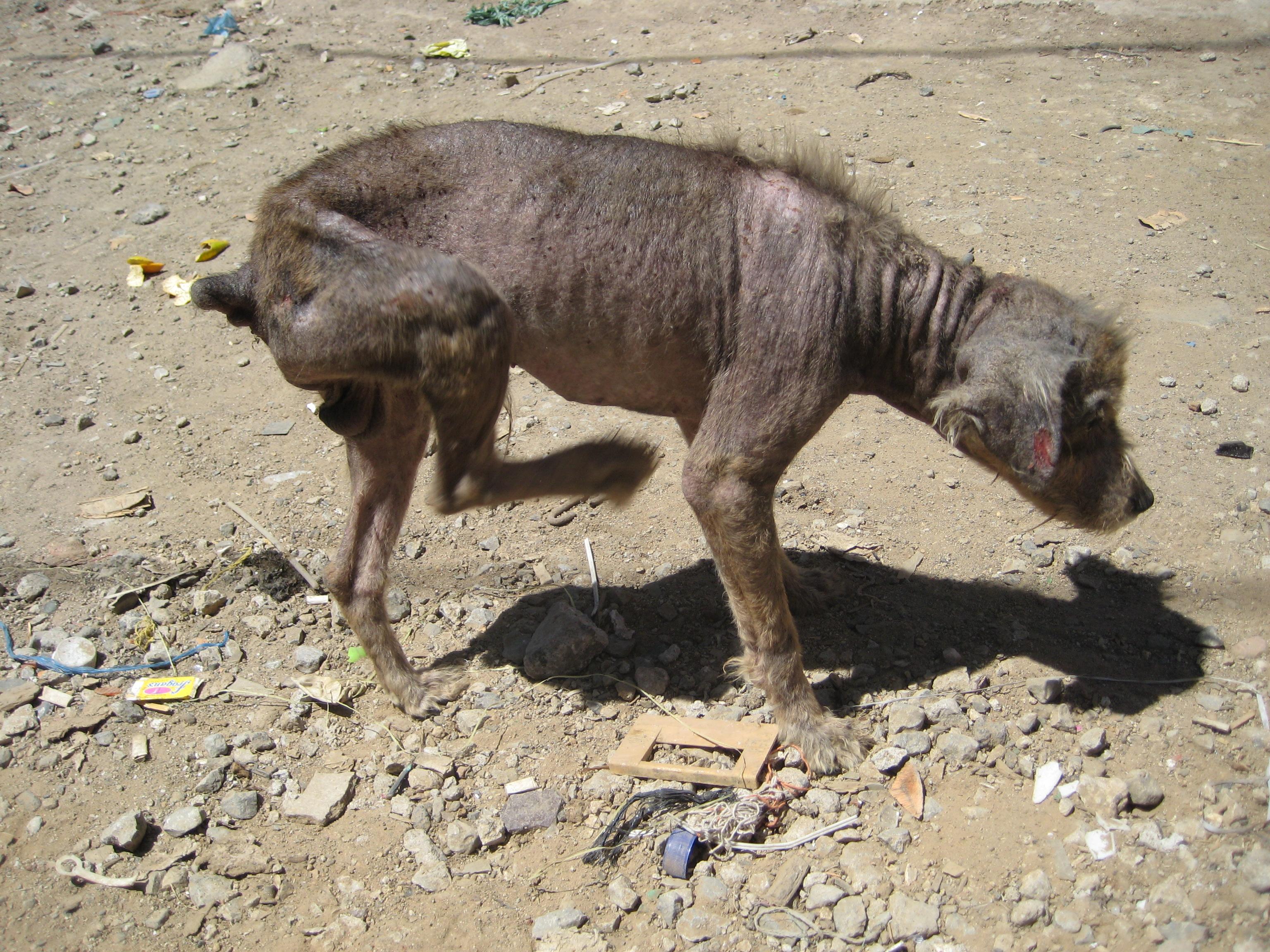 Guatemala dog