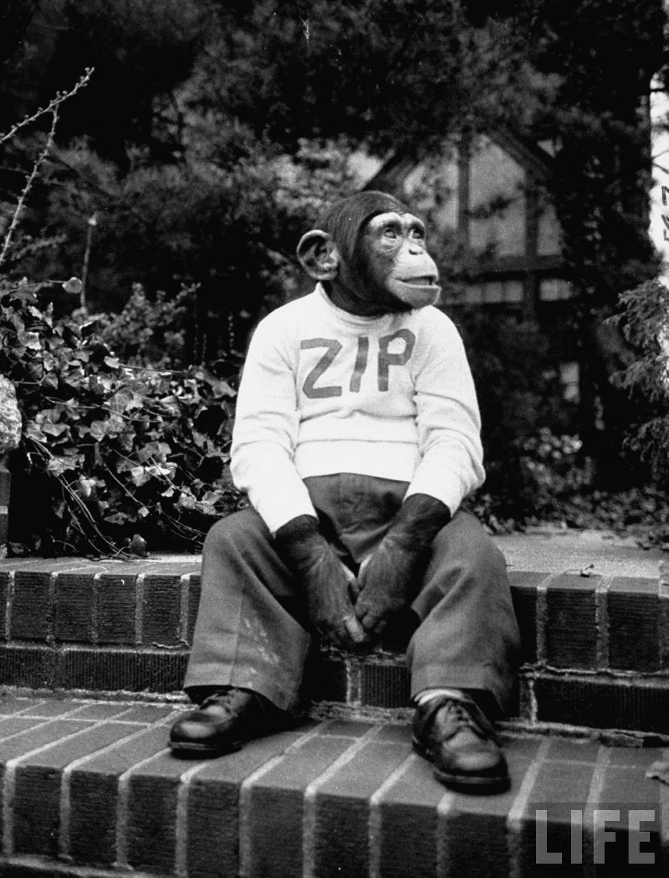 zippy the chimp