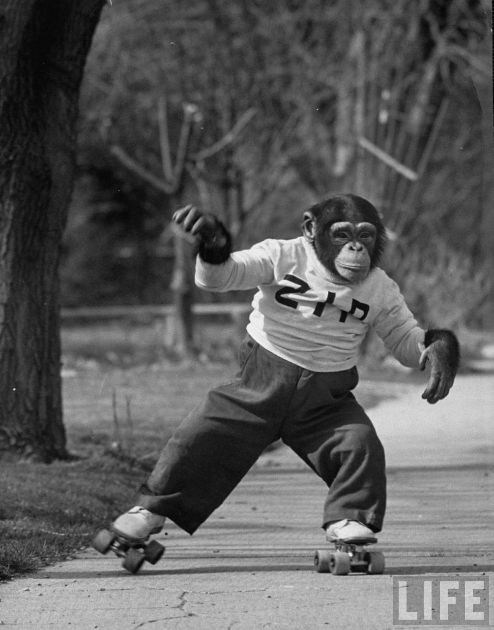 zippy the chimp roller skating
