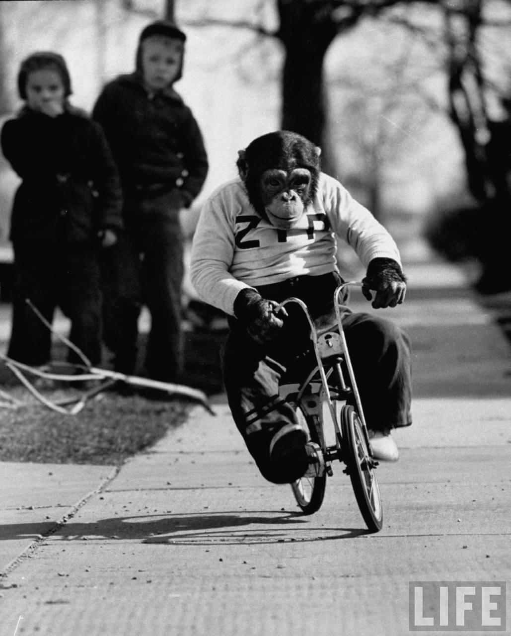Zippy chimp on bicycle