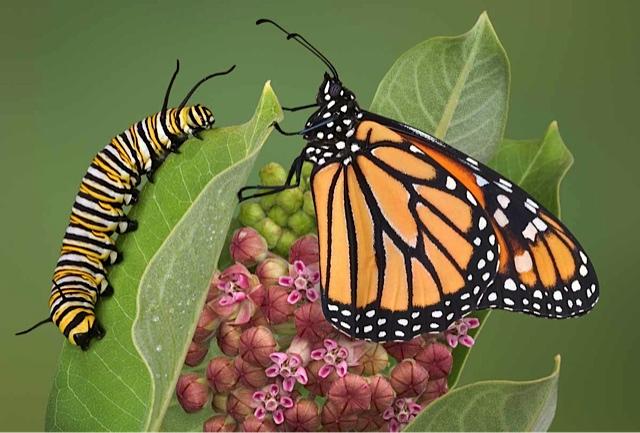 caterpillarbutterlfy-2
