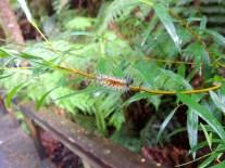 Caterpillar in Otway National Park