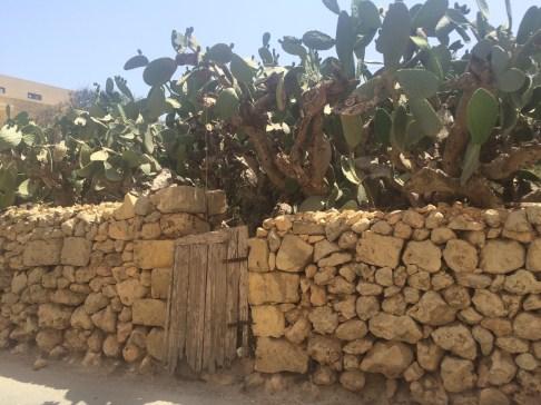 Cactus in Gozo