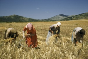 Women in Greece harvesting in the traditional way. http://www.natgeocreative.com/photography/1098541