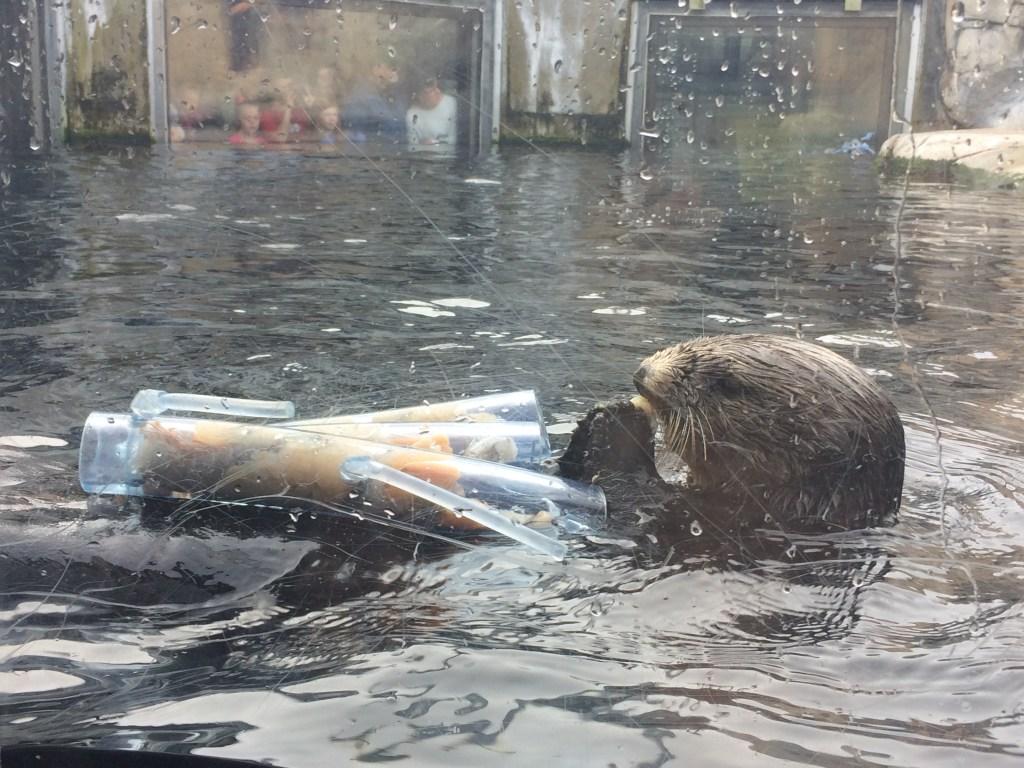 Sea Otter Feeding Time at Monterey Bay Aquarium