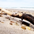 Another treasure brought ashore by the waves. Seen on Sandy Neck's Beach. Cape Cod, MA