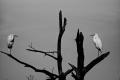 Imaginary Character #2: Thank God we are not humans. Imaginary Character #1: Amen...The imaginary dialogue between two Great Egrets. Assateague Island National Seashore. Chincoteague, VA