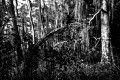 Predator Trees Are Everywhere...Jean Lafitte National Historical Park and Preserve. New Orleans, LA.Bayou Coquille
