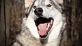 Kane, a timber wolf grinning!