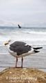 The Watcher: A seagull staring at Morro Strand state beach. Morro Bay, CA