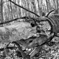 The whaling tree. Valley Forge National Park. King Of Prussia, PA