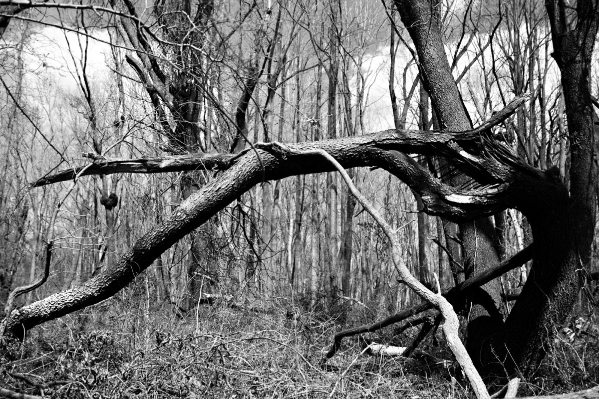 Predator Trees Are Everywhere seen near Finis Pool at the western side of Bombay Hook National Wildlife Refuge Smyrna, DE