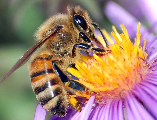 European-Honey-Bee