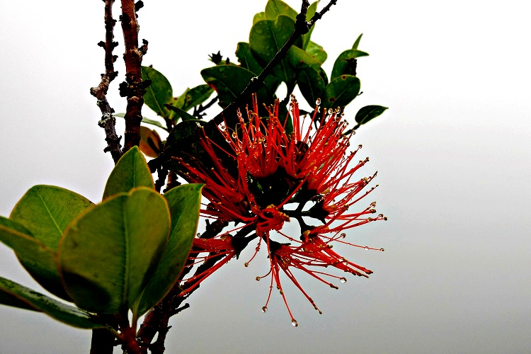 Ohia Lehua, Hawaii, White Road Hike, The Big Island,