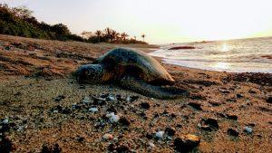Green Sea Turtle, Napping, Hiking, Anaehoomalu Bay, The Big Island, Hawaii, Sunsets, White Sand Beaches