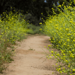 California's Black Mustard Plant Problem