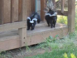 Although skunks are kind of cute. Look! Skunk babies on the girls' playhouse steps a couple of years ago. They act like kittens.