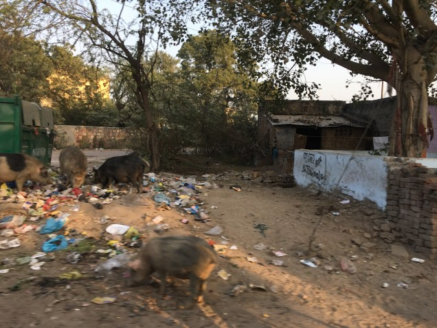 Pigs in Rajasthan India
