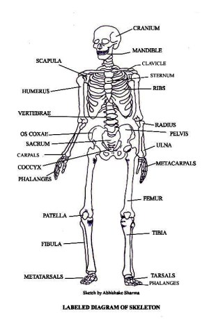 PICTURES OF BONES | The Skeletal System