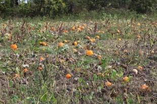 paulus_pick-your-own-pumpkins