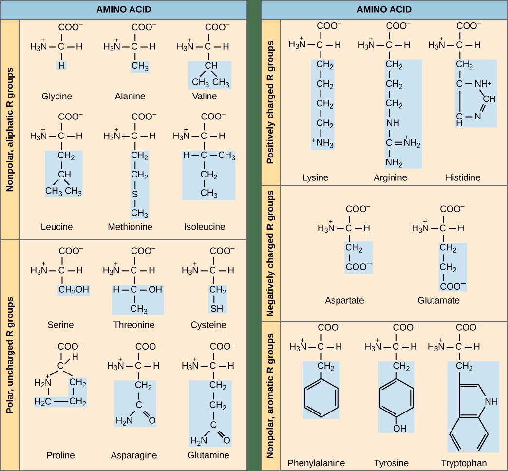 amino acid chart glycine alanine valine leucine methionine isoleucine serine threonine cysteine proline asparagine glutamine lysine arginine histidine aspartate glutamate phenylalanine tyrosine tryptophan
