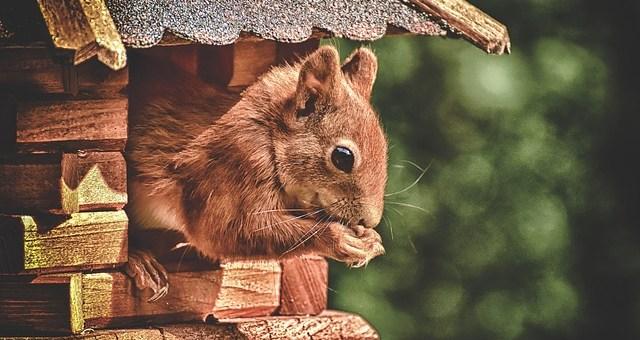 squirrel hibernation red house tree eating