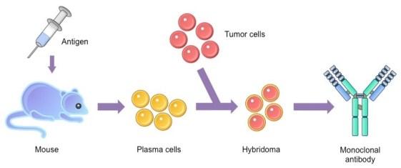 monoclonal antibody production process mouse murine plasma hybridoma