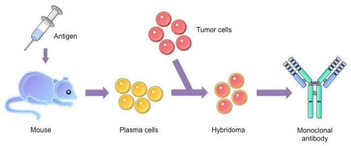 monoclonal antibody production process using hybridomas