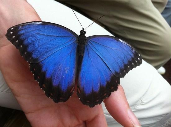 blue morpho peleides butterfly
