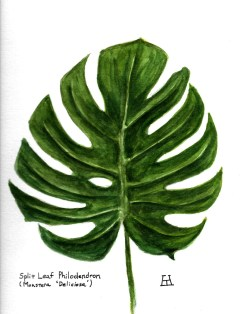Split Leaf Philodendron