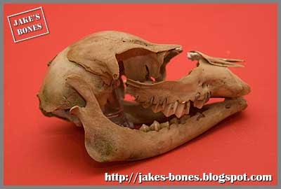jake's bones_deer bones