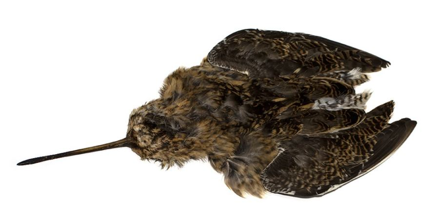 common snipe skin for north country spiders