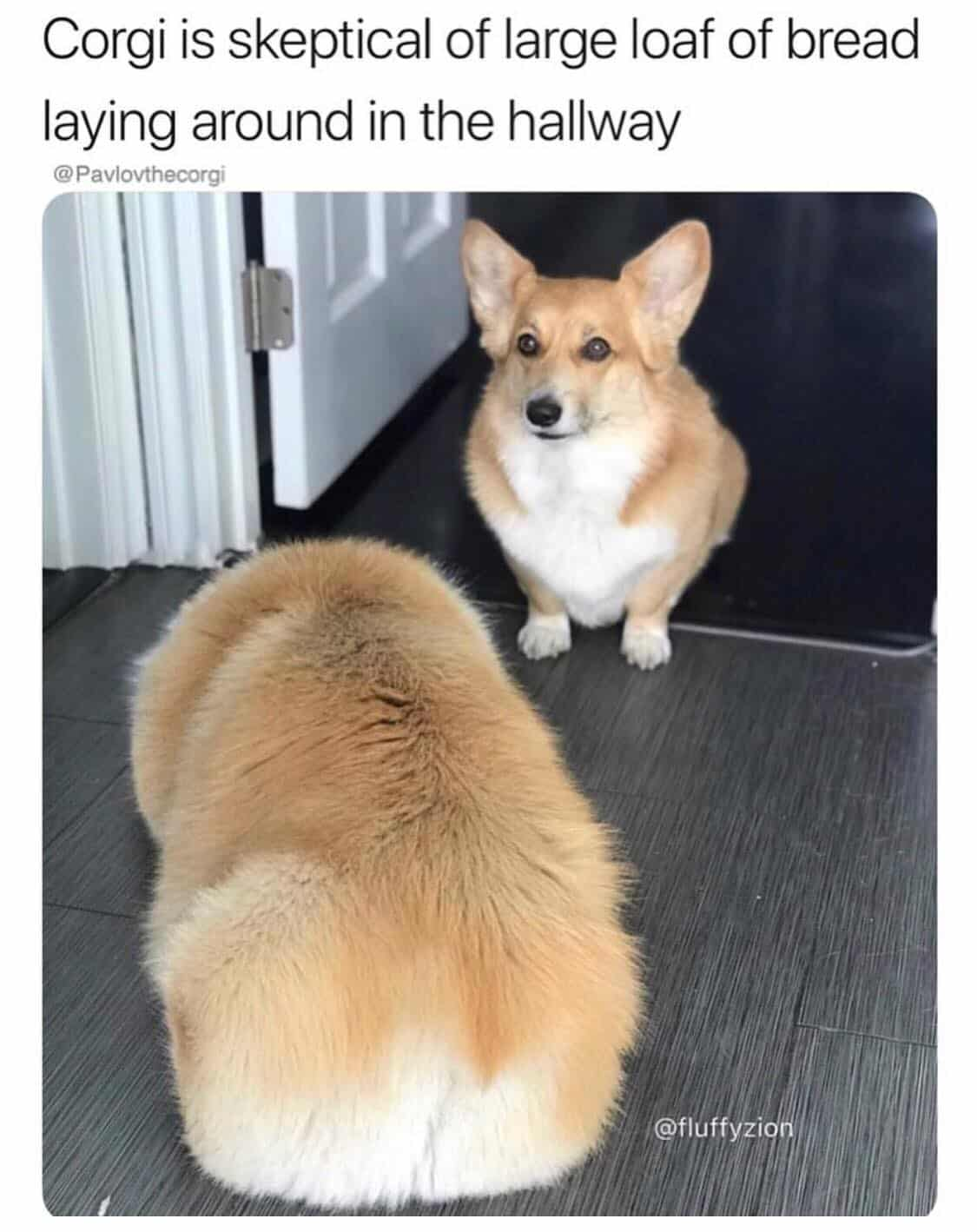 25 Best Small Dogs Memes Rub My Belly Memes Bigly Memes