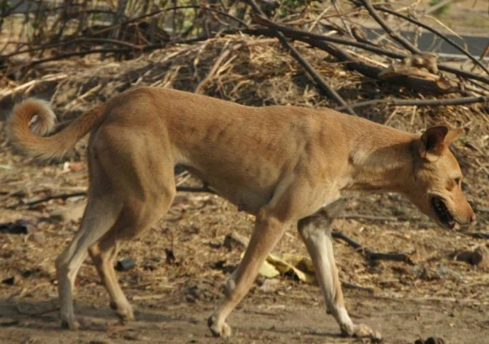 The Indian Pariah Dog is an aboriginal breed from India.
