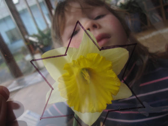 star in daffodil