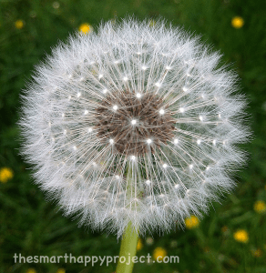 dandelion showing 3D radial symmetry