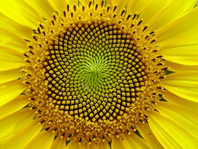 fibonacci in a sunflower the smart happy project