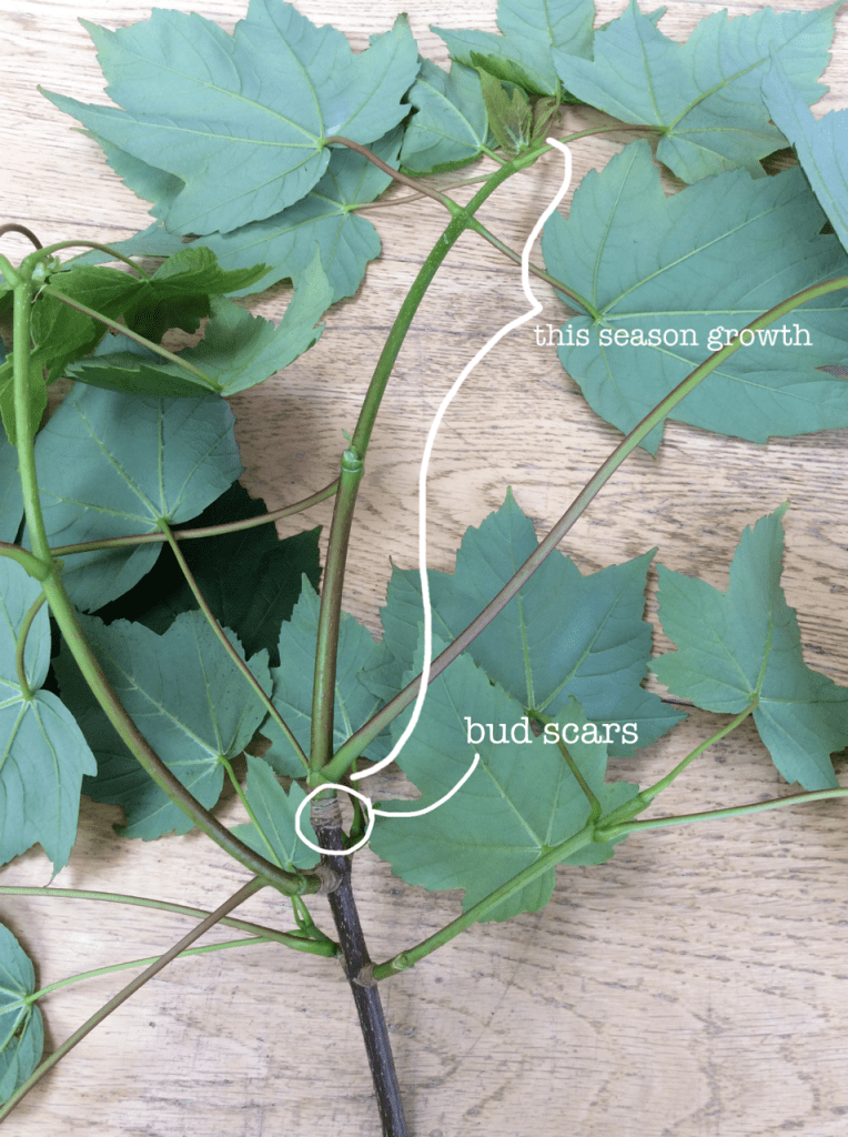 indicating the seasons growth on a tree