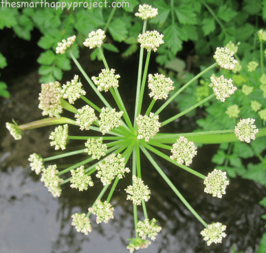 photo cow parsley
