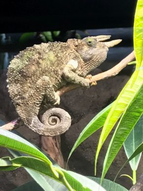 spiral in nature of chameleon tail