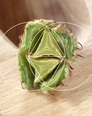 beechnut and geometry inside