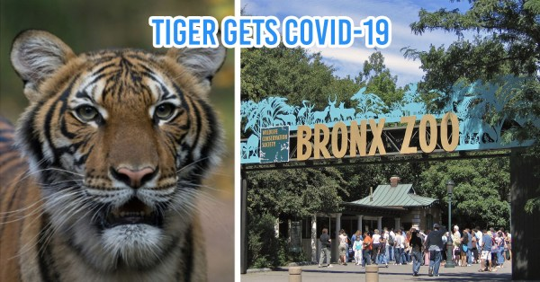 Tiger Tests Positive For COVID-19 In New York City's Bronx Zoo
