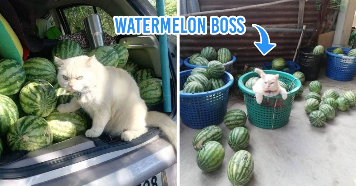 watermelon boss