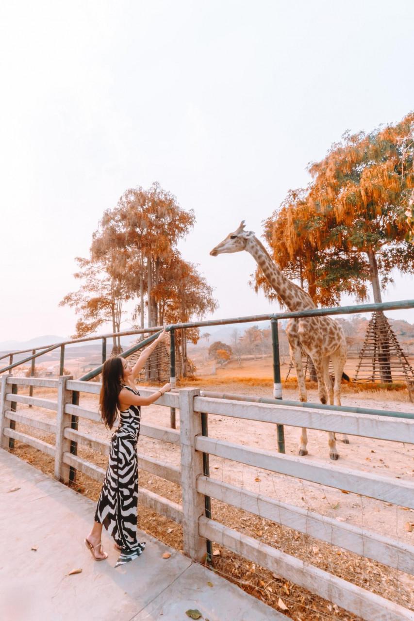 singha park thailand chiang rai airasia flower fields hot air balloon cosmos petting zoo giraffe and zebra