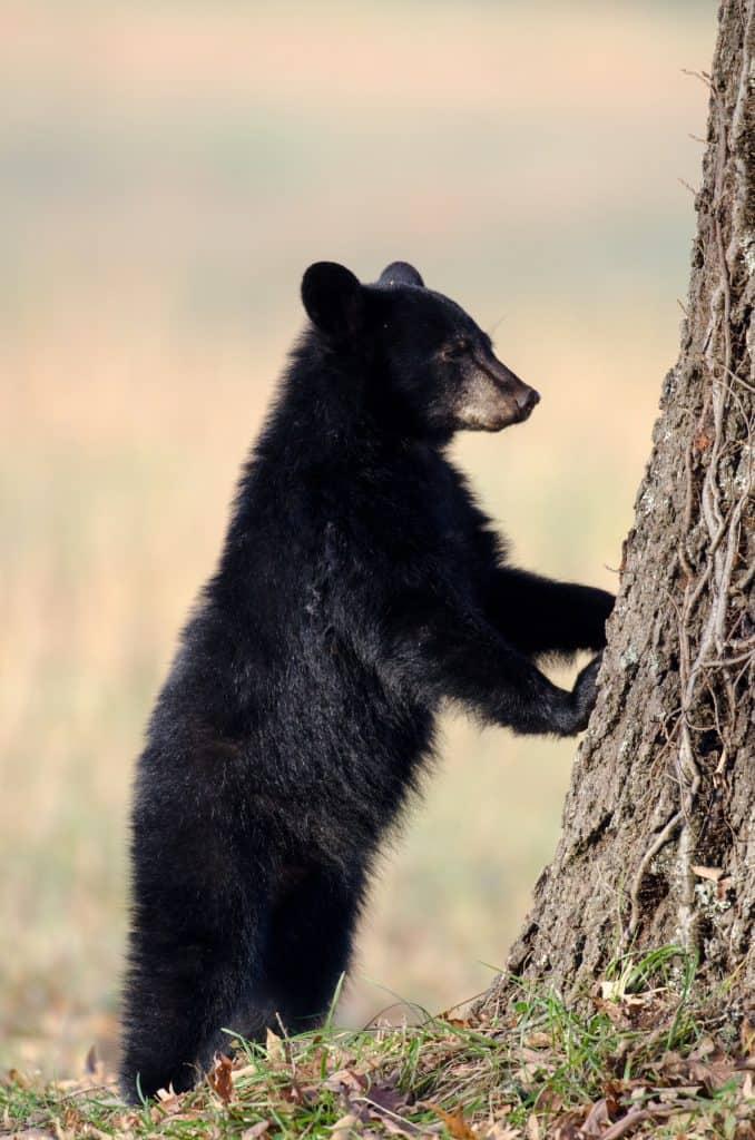 Black Bear in Great Smoky Mountains National Park, Mom Explores The Smokies
