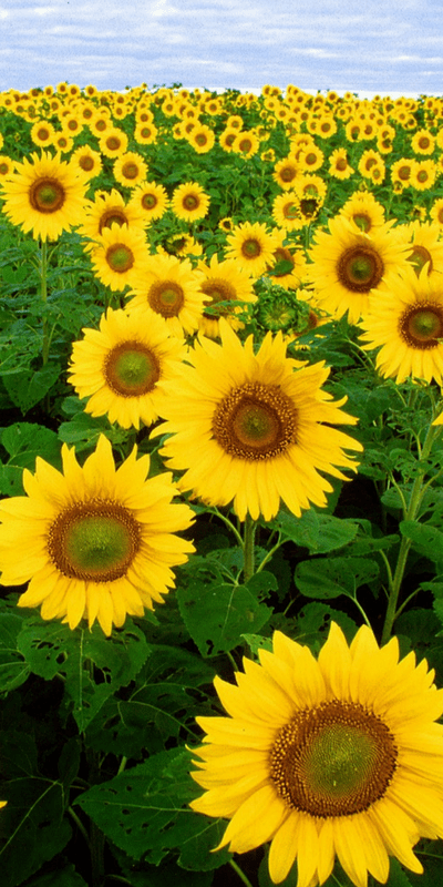 Knoxville's Best Sunflower Field, Mom Explores The Smokies