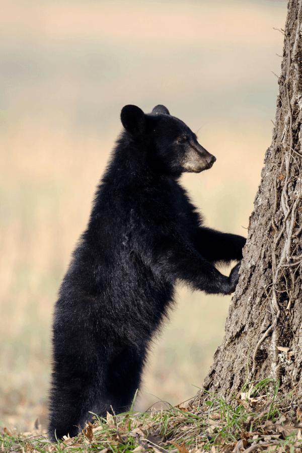 Black Bear Appalachian Mountains, TN