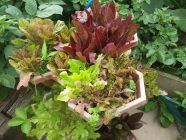 Lettuces in a patio planter
